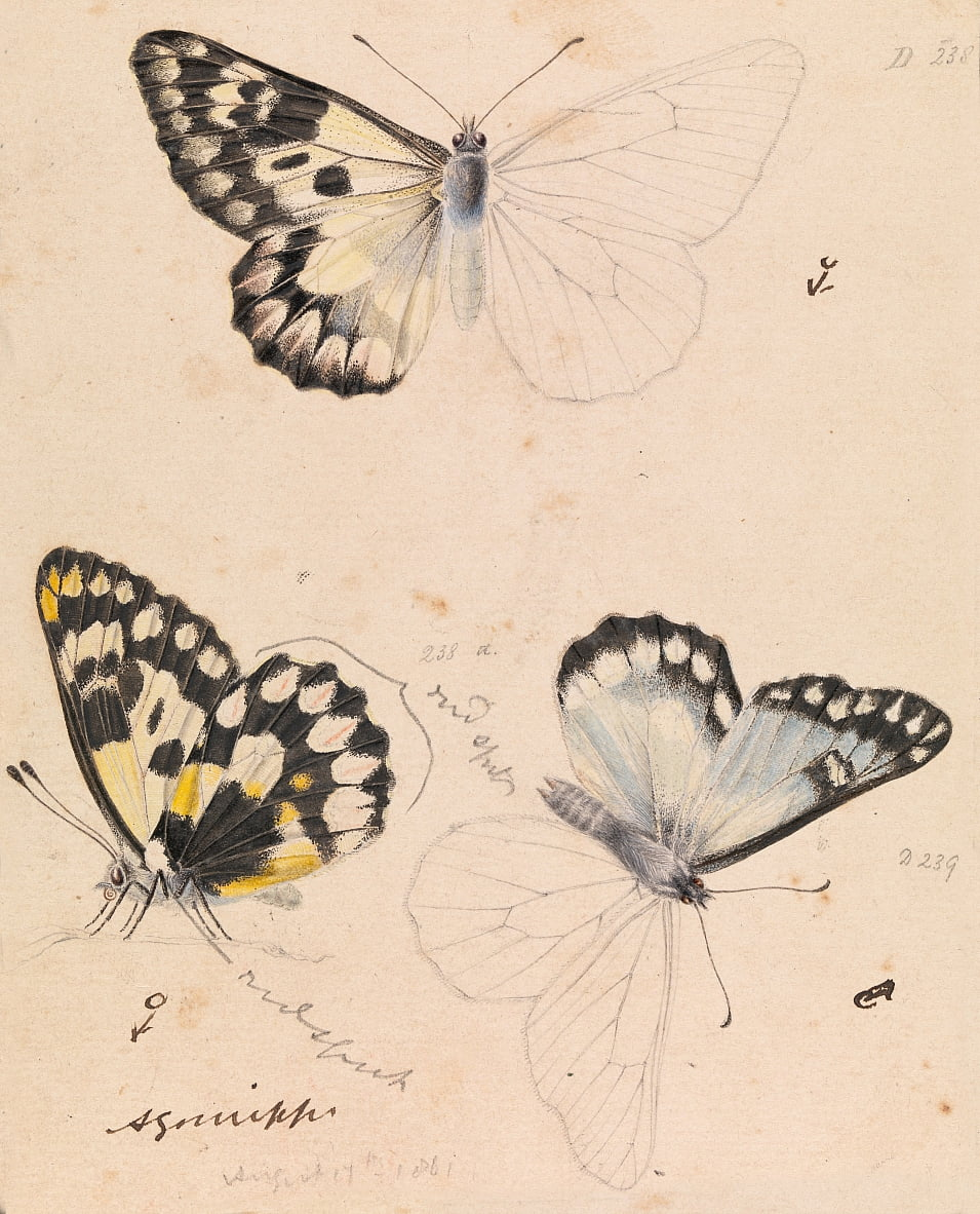 Wood White Butterfly, Delias aganippe by Arthur Bartholomew